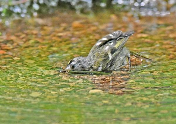 キクイタダキ幼鳥7水 DSZ_110