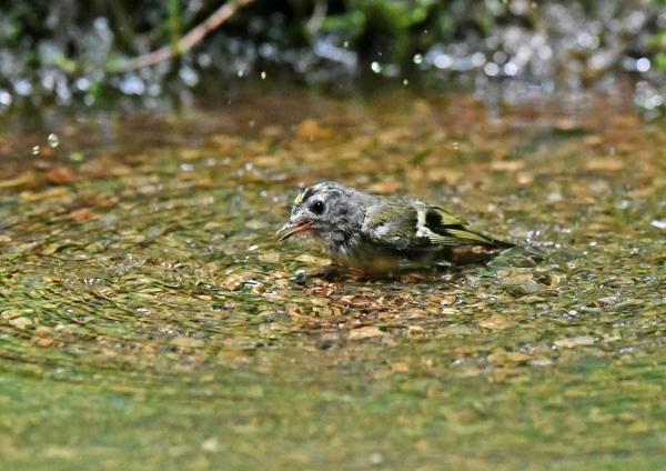 キクイタダキ幼鳥8水浴 DSZ_1