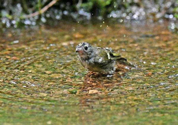 キクイタダキ幼鳥9水浴び DSZ