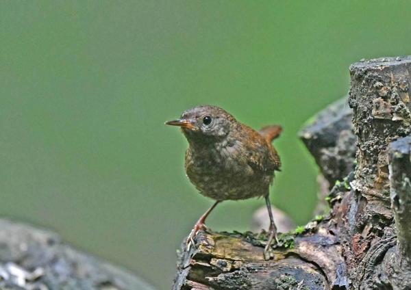 ミソサザイ幼鳥2 DSZ_4325