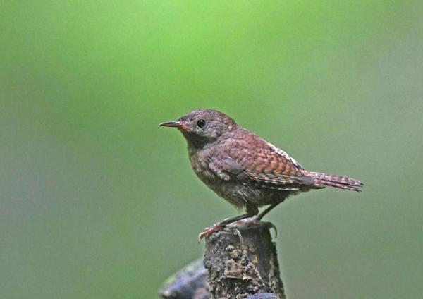 ミソサザイ幼鳥4 DSZ_4338