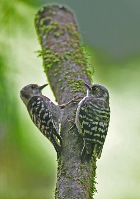 コゲラ5幼鳥 DSZ_0472