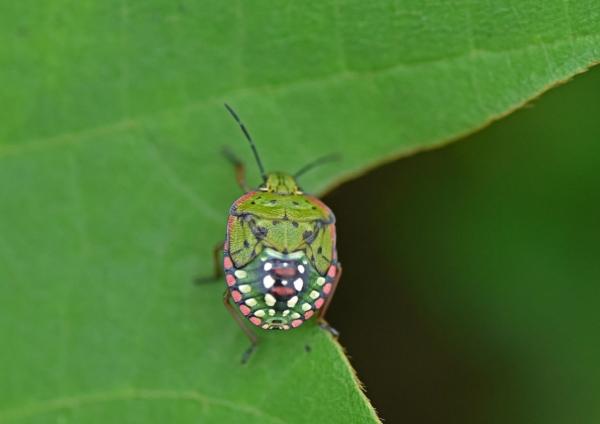 アオクサカメムシ幼虫 DSF_8