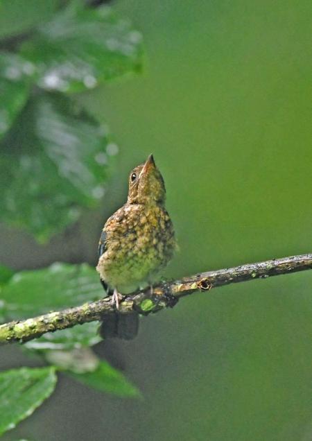 オオルリ幼鳥 DSZ_4735