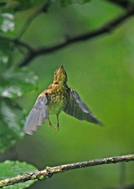 オオルリ幼鳥 DSZ_4736