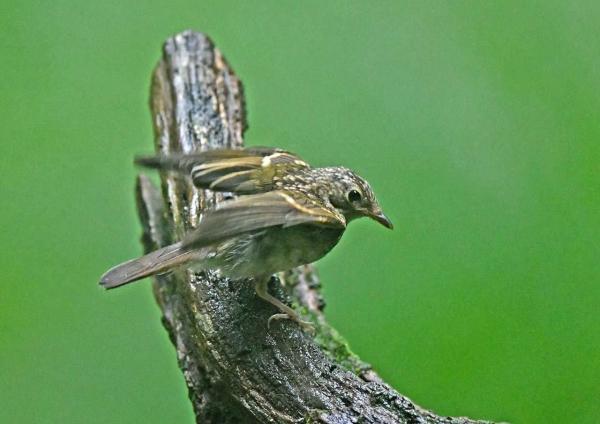 キビタキ幼鳥4 DTA_0469