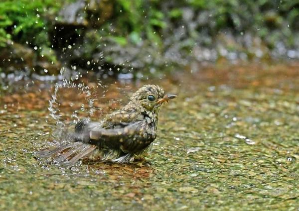 キビタキ幼鳥6水浴び DSZ_807