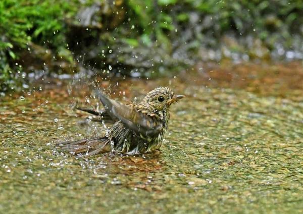 キビタキ幼鳥7水浴び DSZ_810