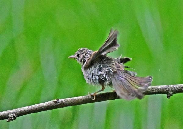 キビタキ幼鳥10羽繕い DSZ_830