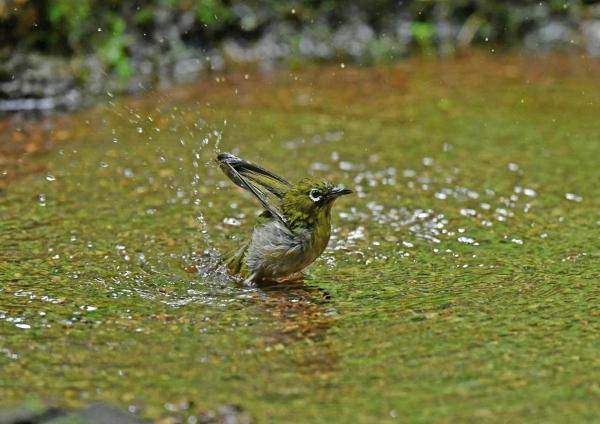 メジロ7水浴び DTA_2369