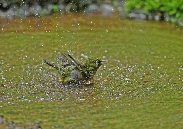メジロ9水浴び DTA_2399