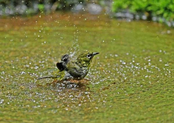 メジロ10水浴び DTA_2400