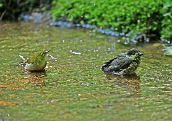 メジロ12とヤマガラ幼鳥 DTA_1
