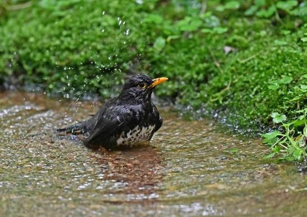 クロツグミ水浴び1 DSZ_5299