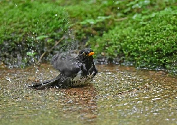 クロツグミ水浴び2 DSZ_5478