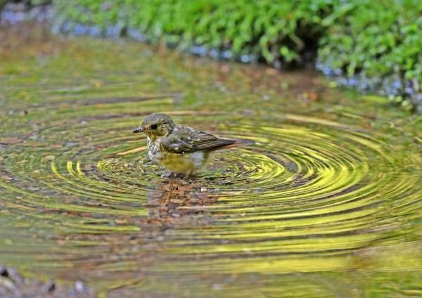 キビタキ幼鳥1水浴び DTB_192