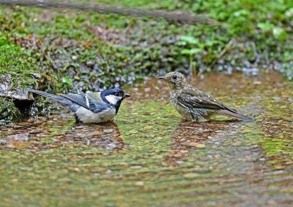キビタキ幼鳥3とシジュカラ3