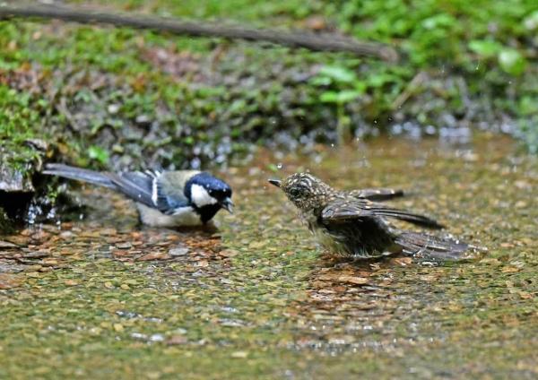 キビタキ幼鳥4とシジュカラ D