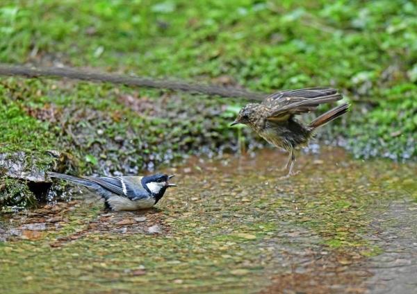 キビタキ幼鳥5とシジュカラ2