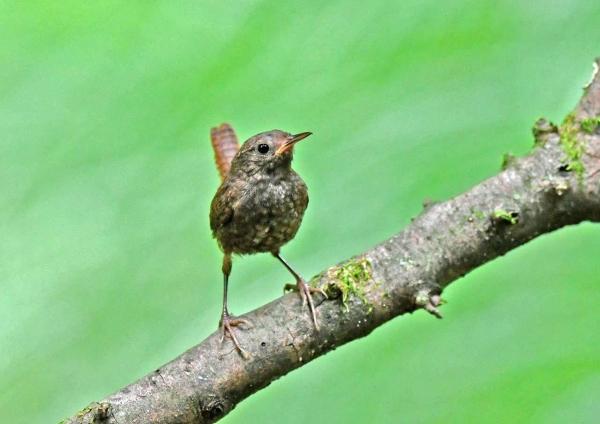 ミソサザイ幼鳥6 DTB_1277