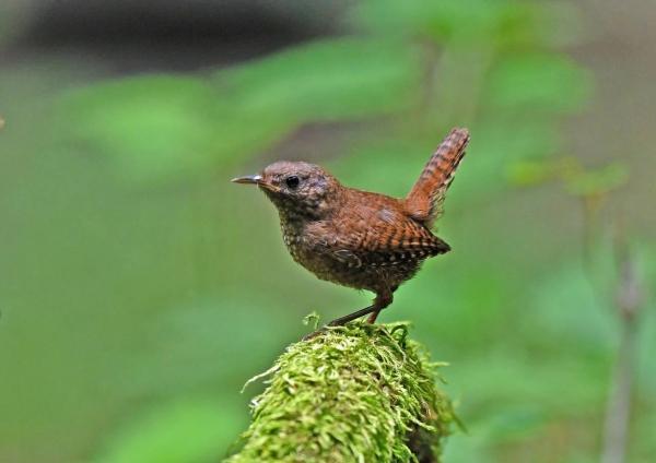 ミソサザイ幼鳥7 DTA_9775