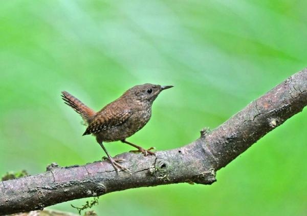 ミソサザイ幼鳥8 DTA_9708