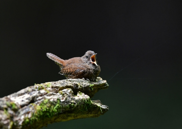 ミソサザイ幼鳥16 DTA_9609