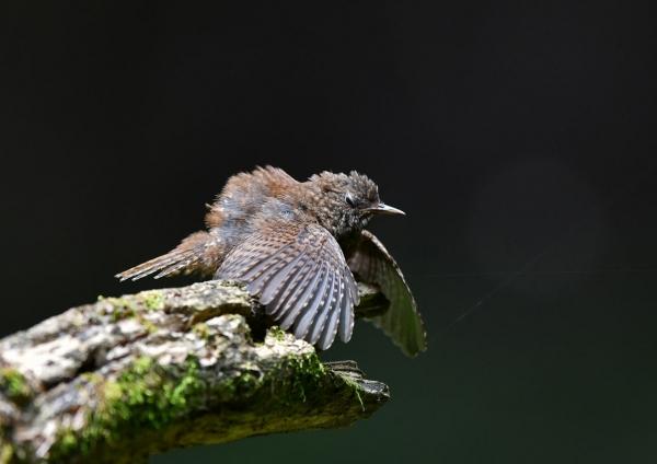 ミソサザイ幼鳥2 DTA_9626