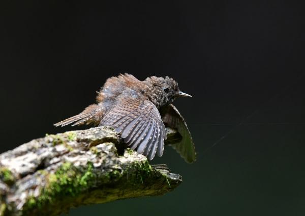 ミソサザイ幼鳥3 DTA_9628