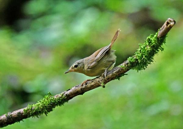 ウグイス幼鳥1 DTB_0781