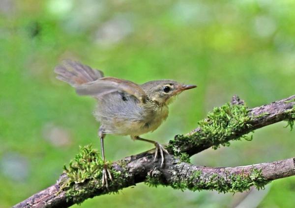 ウグイス幼鳥2 DTB_1248