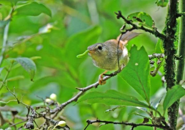 ウグイス幼鳥3 DTA_9511