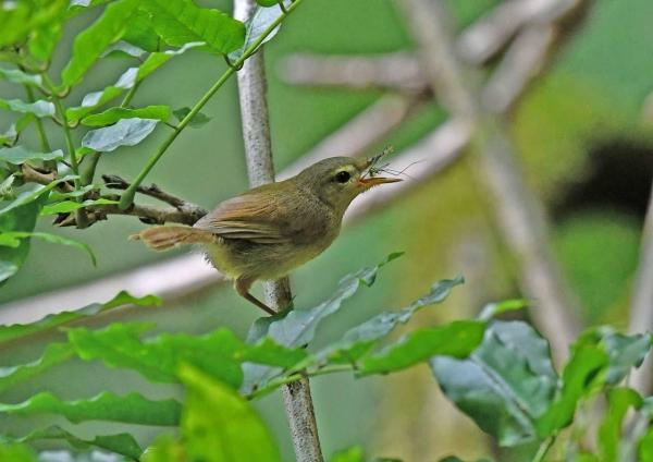 ウグイス幼鳥4 DTB_0688