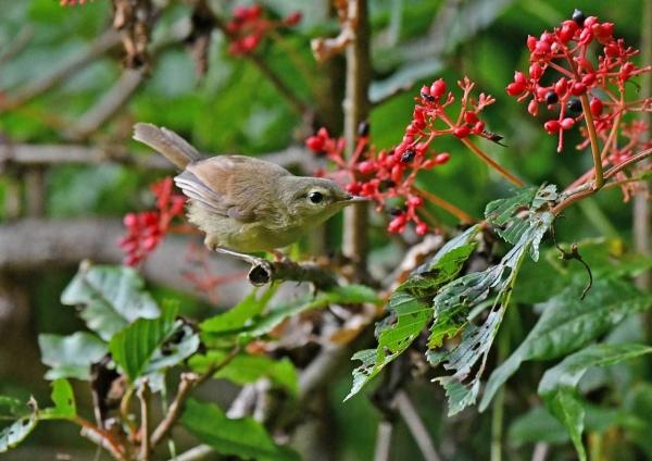 ウグイス幼鳥5 DTB_0752