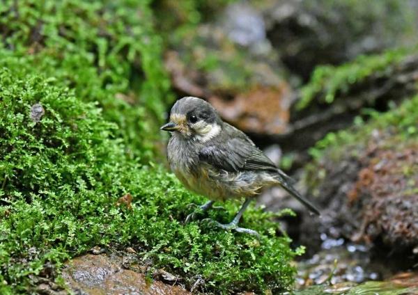ヤマガラ幼鳥1 DTA_2251