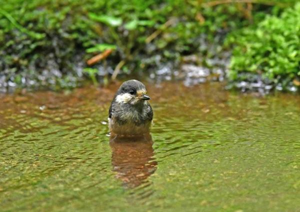 ヤマガラ幼鳥3水浴び DTA_222