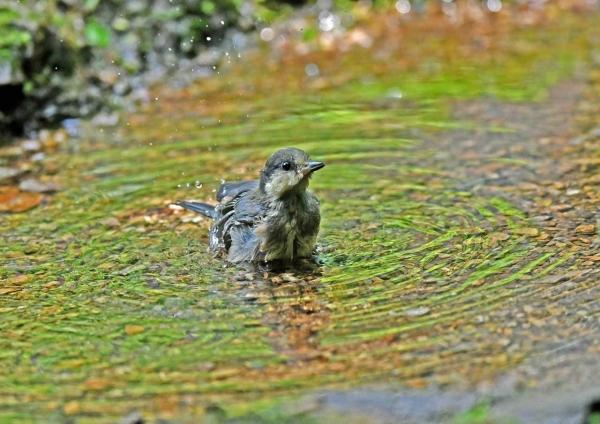 ヤマガラ幼鳥4水浴び DTA_808