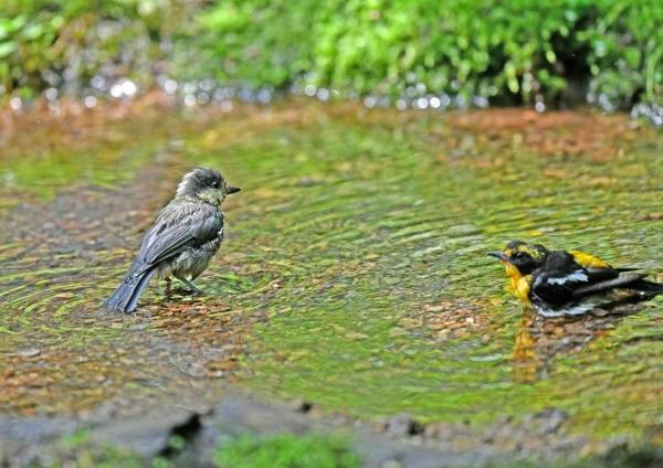 ヤマガラ幼鳥5とキビタキ DTA