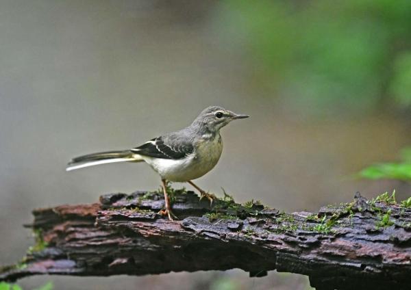 キセキレイ2幼鳥 DSY_8887