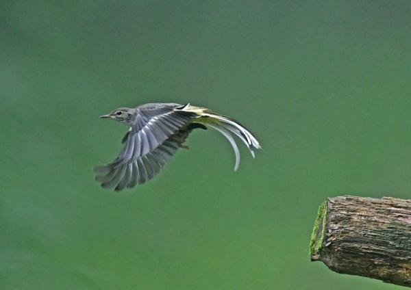 キセキレイ4幼鳥 DSY_8461