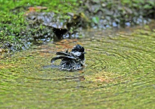 ヒガラ1水浴び DTA_6335