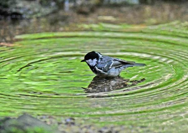 ヒガラ2水浴び DTA_0885