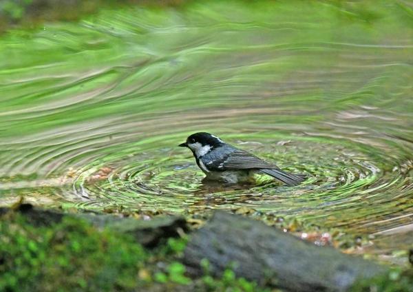 ヒガラ3水浴び DSY_4884