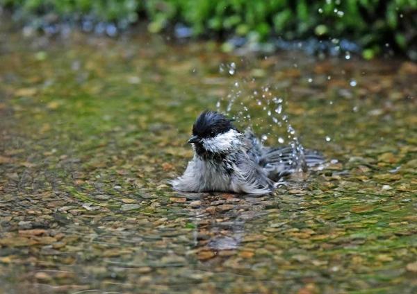 コガラ1水浴び DTB_3436