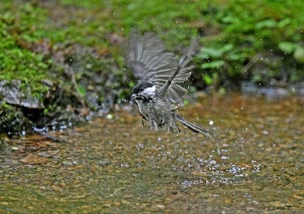 コガラ3幼鳥水浴び DTA_9883