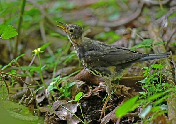 クロツグミ幼鳥4 DTB_9791