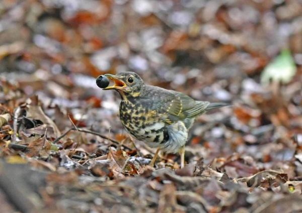 クロツグミ幼鳥5 DTB_2922