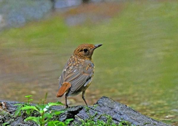 オオルリ幼鳥1 DTC_7980
