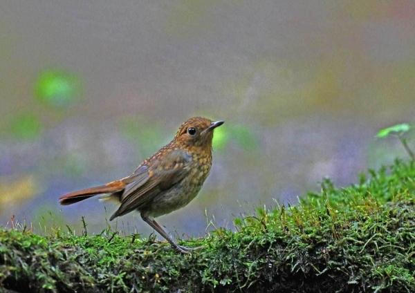 オオルリ幼鳥3 DTC_7934