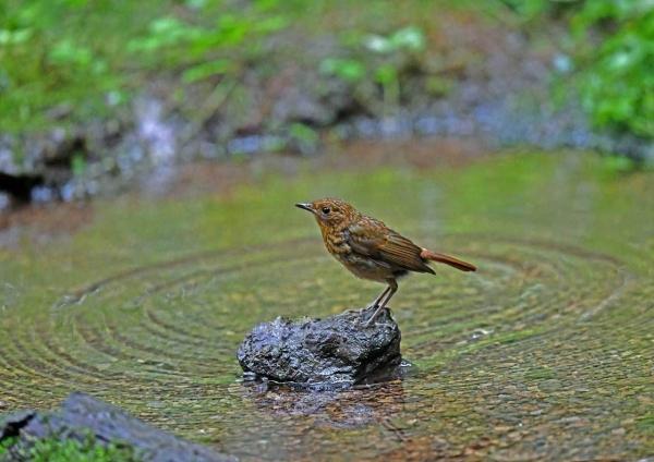オオルリ幼鳥4 DTC_7836